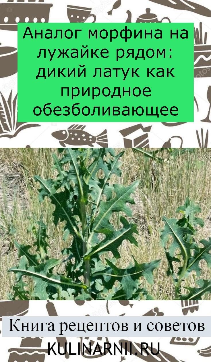 Аналог морфина на лужайке рядом: дикий латук как природное обезболивающее